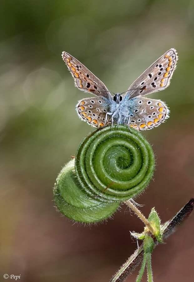Хоботок бражника достигает в длину 28 см, а самая тяжелая бабочка - моль весит 30 грамм бабочки, интересное, красота, насекомые