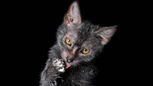 Кошка-волк
