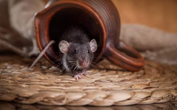 Уксус от мышей в дачном доме