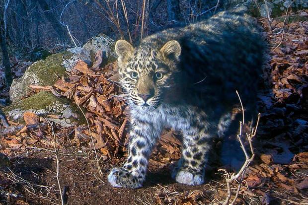 «Земля леопарда» показала котёнка-свинюшу