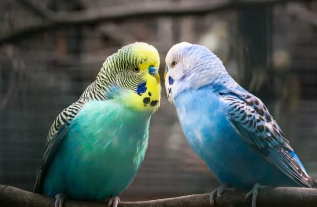 Пара попугайчиков из Жулебина решила расстаться