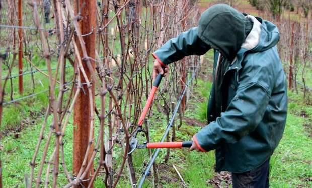 Как правильно обрезать виноград – подробная инструкция для новичков