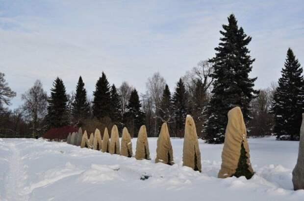 Укрывание хвойных деревьев на зиму