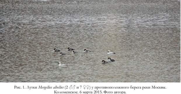 Зимовка северных нырковых уток на тёплых Курьяновских сливах в Москве