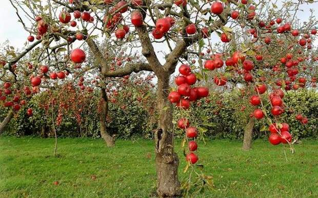 Отгибаем ветки у яблони и получаем огромный урожай