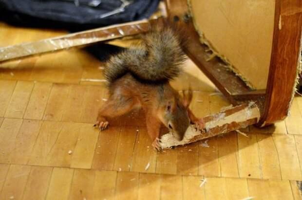 Любимый стул, чтобы точить зубы белка, животные, спасение