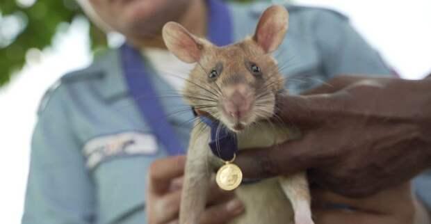 Героическая крыса впервые в истории получила высшую награду Великобритании