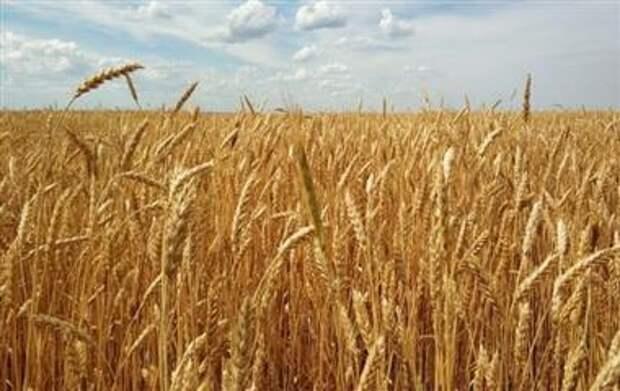 """""""Совэкон"""" считает, что в России в 2022 году соберут 80,7 млн тонн пшеницы"""