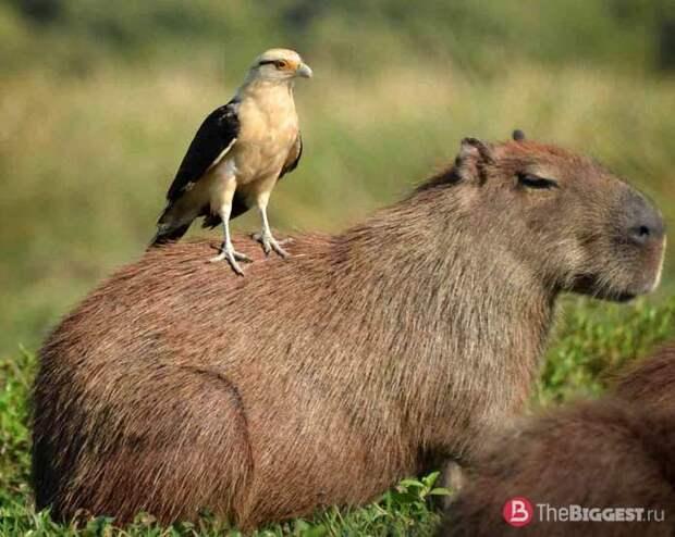 Самые большие грызуны: Капибара