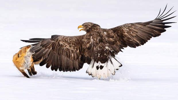 Орлан-белохвост прогоняет лису