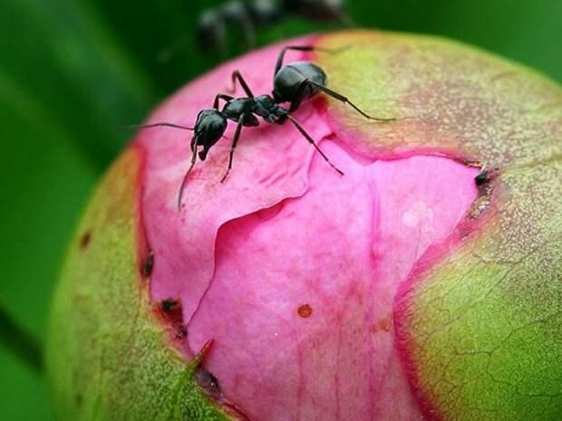 Эффективные методы борьбы с муравьями на пионах