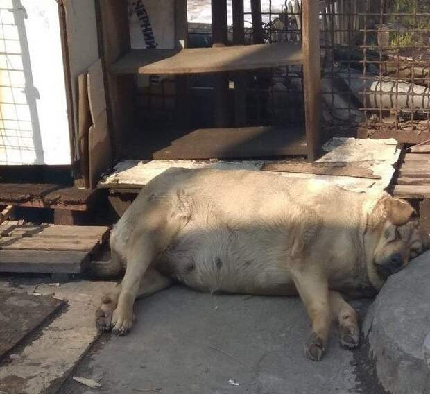 Хрю! домашние животные, животные, кошка, прикол, свинья, собака, юмор