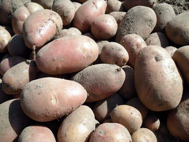 Очень важно выкопать картофель вовремя