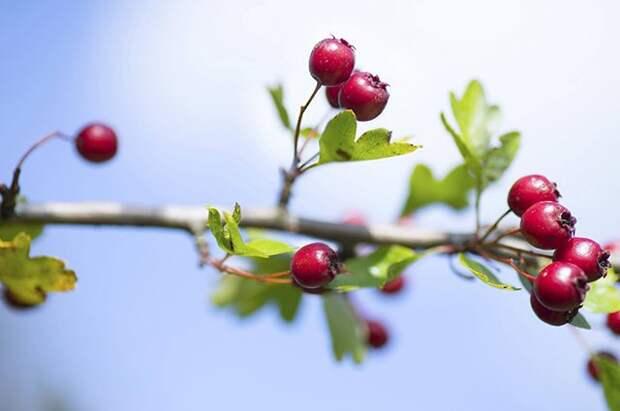 Какие редкие плодовые кустарники можно вырастить на даче?