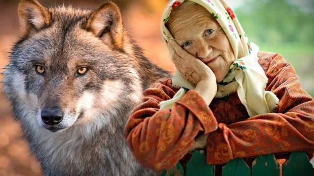 Бабушка вырастила дома волка: 2 года назад взяла домой щенка и он отплатил добром