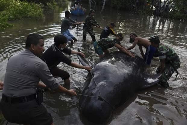 Десятки китов выбросились на берег в Индонезии индонезия, киты, спасение