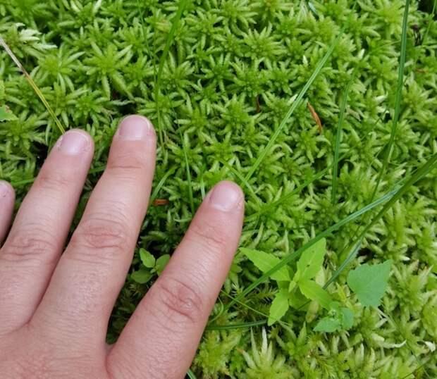 Уникальный и необходимый мох сфагнум