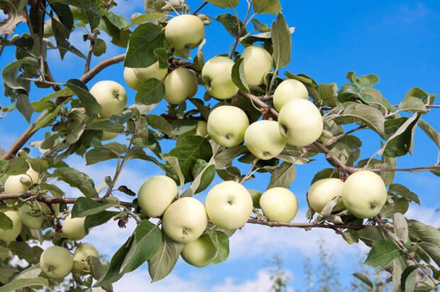 Фотографии лучших сортов яблок с названием и описанием