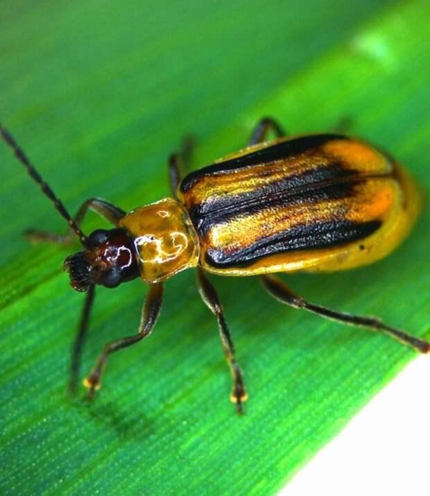 7 насекомых-вредителей, наносящих огромный урон сельскому хозяйству