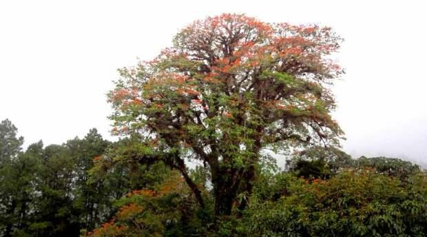 Цинхона или хинное дерево