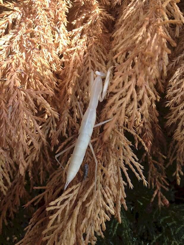 7. Редкий богомол-альбинос археология, дача, находки, удивительное рядом