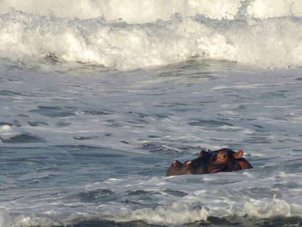 Бегемот плавает в прибрежных волнах залива Томпсонс, в 50 км от Дурбана, второго по населению города ЮАР, 27 мая, 2008. Ученые утверждают, что молодые самцы-одиночки бегемотов вышли из своего привычного места обитания в Ричардс-Бей и заполонили близлежащие районы. (REUTERS/Rogan Ward)
