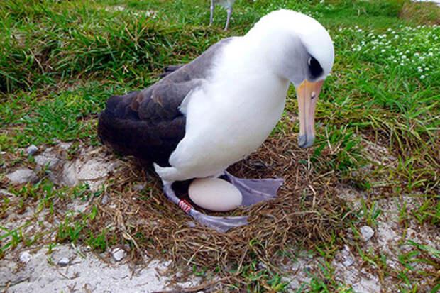 Самая старая самка альбатроса опять снесла яйцо
