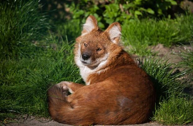 Красный волк САМЫЕ РЕДКИЕ ЖИВОТНЫЕ