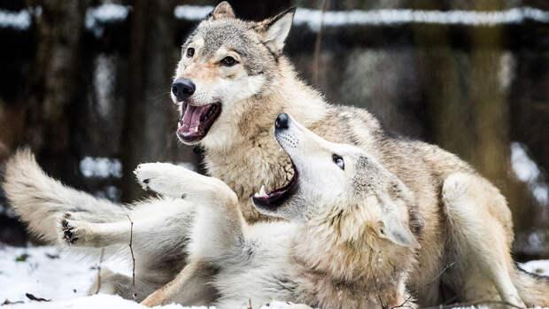 """Зоолог объяснил страх россиян перед """"нашествием волков"""" миграцией"""