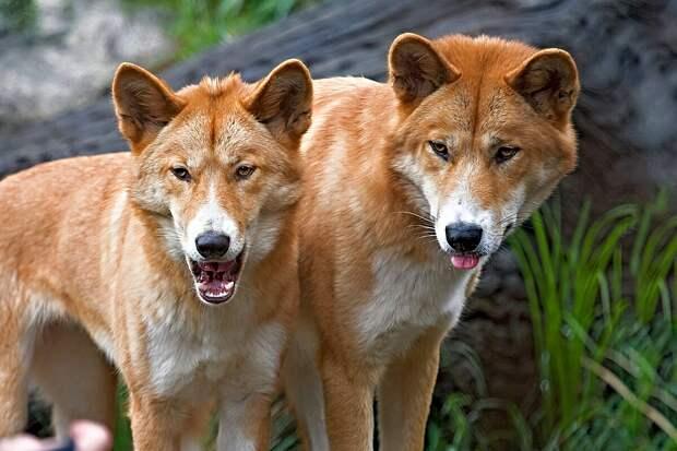 Динго: 7 особенностей из жизни дважды одичавших собак