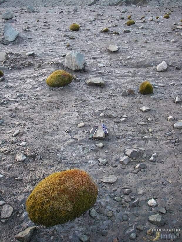 Арктическими шариками из мха управляет нечто разумное?