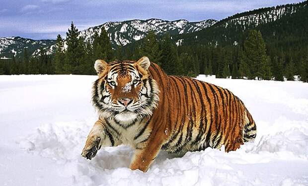 29 Июля - Международный день тигра