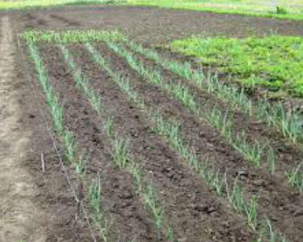 Посадка лука на головку весной в открытом грунте севком и семенами