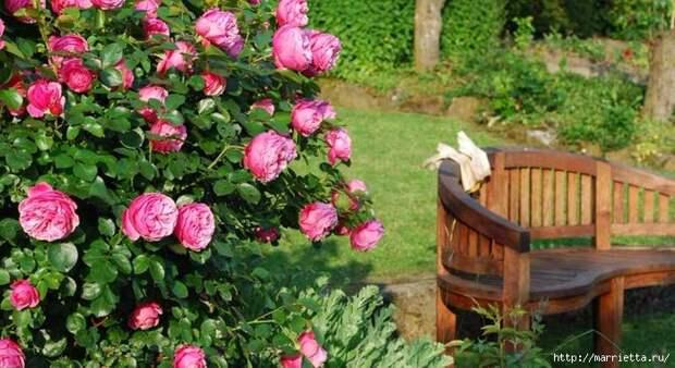 Выращивание из черенков кустов роз