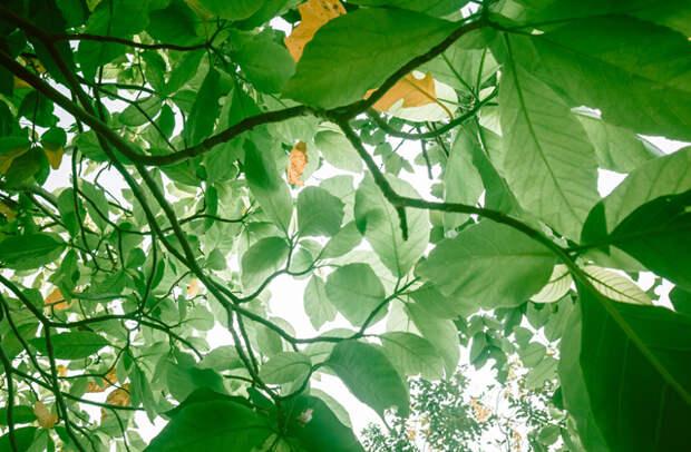 Пизония: смертельно опасное дерево