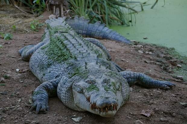 Крокодила вытащил из реки алтайский браконьер