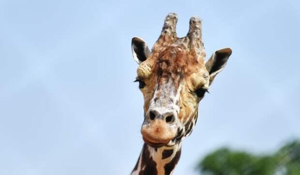Жирафа Самсона в Московском зоопарке перевели в открытый вольер
