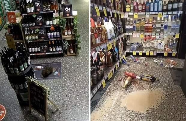 В Австралии неожиданный ночной посетитель устроил дебош в магазине — этого гостя ты точно когда-то видел