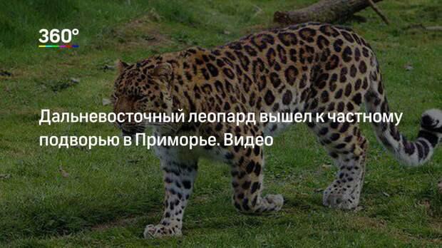Дальневосточный леопард вышел к частному подворью в Приморье. Видео