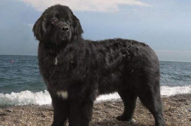 Ньюфаундленд (водолаз) больших, бульдог, до маленьких, питомец, породы, собак, такса