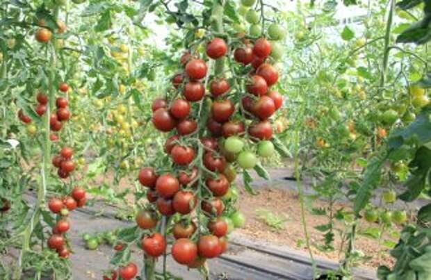 Сорта томатов фирмы агрос