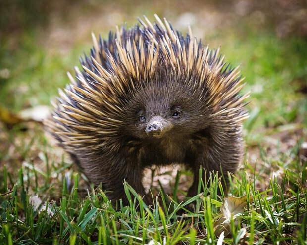 Ехидна: самое удивительное животное Австралии