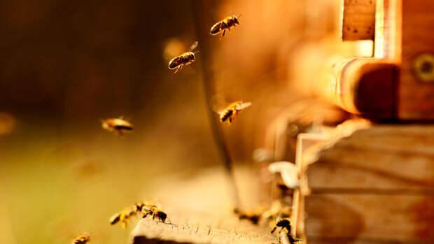 Около 20 млн пчел погибло в Красноярском крае