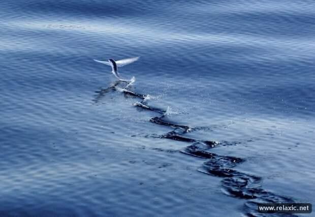 Летучие рыбы (12 фото)