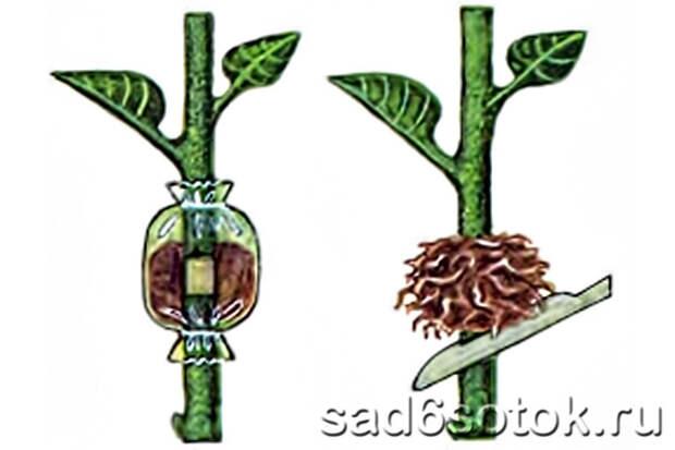 размножение цветов отводками