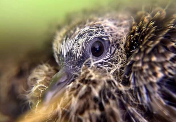 Маленький голубь и павлин без хвоста: как выглядят птенцы разных видов птиц