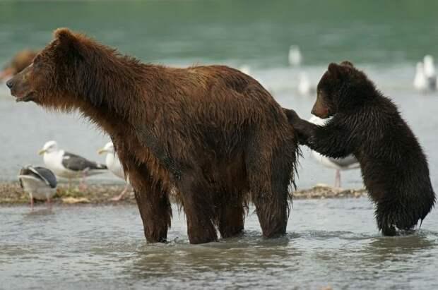 Кабаний роддом и медвежий детский сад. Лучшие матери в мире дикой природы