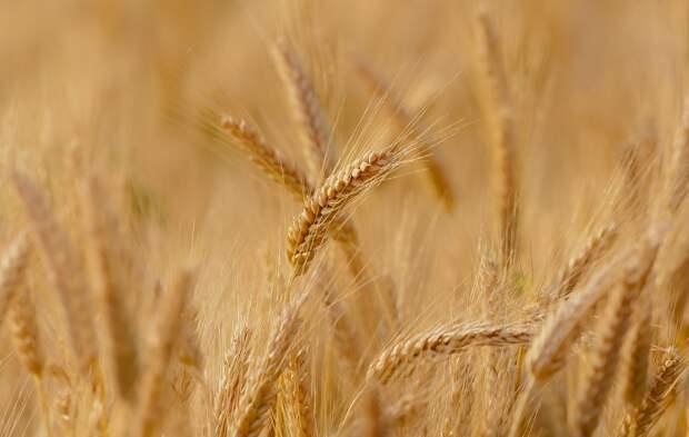 В Крым поставят 19 тысяч тонн пшеницы из госфонда  России без торгов по распоряжению Кабмина