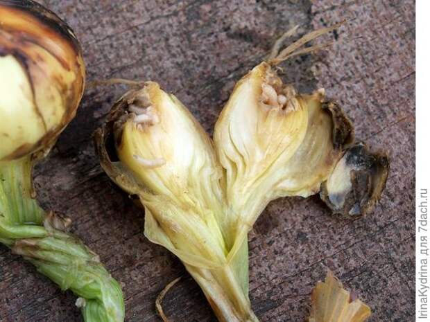 Луковицы, поврежденные личинками луковой мухи (Фото с сайта fermoved.ru)