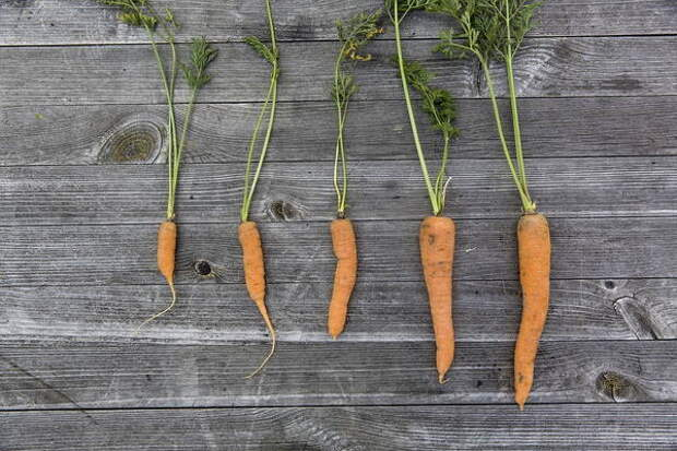 Сажаем морковь в мае и июне 2021 по лунному календарю: Как подготовить почву и семена